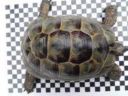 Maurische Landschildkröte männlich kleine Unterart