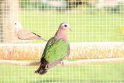 Grünflügeltaube Diamanttäubchen Friedenstaube