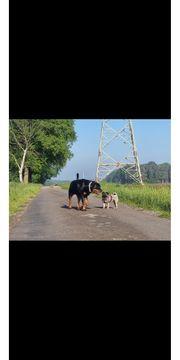 SUCHE Jack Russell Terrier Welpe