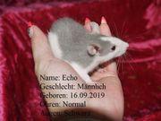 Ratten aus eigener Privaten Hobby-Zucht