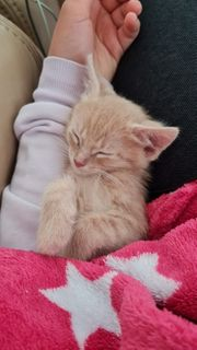 Roter Babykater Kitten abzugeben