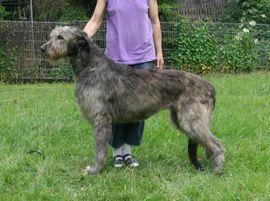 Irish Wolfhoundwelpen VDH: Kleinanzeigen aus Münchberg - Rubrik Hunde