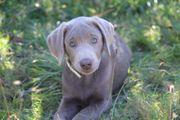 Labradorwelpen in silber mit Papieren