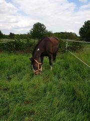 Pferd sucht Reiter in Geinsheim