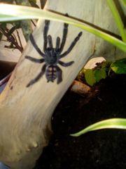 Vogelspinnen slings auch Larven gesucht
