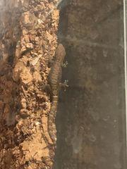 Glas Terrarium mit Jungferngeckos