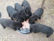 Labradorwelpen choccolat u schwarz