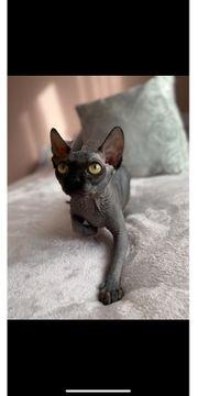 Sphynx Katze unkastriert