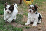 Bezaubernder Biewer und Biro-Yorkshire Terrier