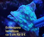 Echinopora lamellosa Korallen Meerwasser LPS