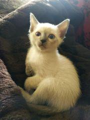 reinrassige Thai Siamkatzen