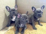 Welpen der französischen Bulldogge verfügbar
