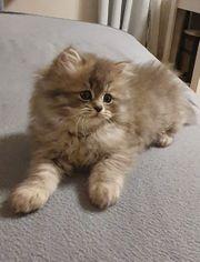 Perser kitten reinrassig