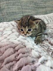 Zuckersüßes Mischlingskatzenbabys suchen bald ein