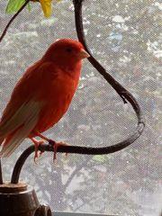 Vögel rote Kanarien