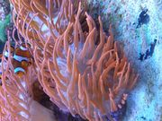 Anemone Kupferanemone