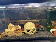 CPO-Zwergflusskrebse 3 Stück mit Aquarium