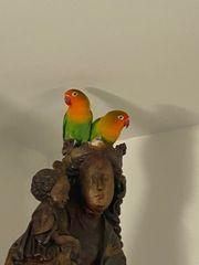 Papageien Pfirsichköpfchen