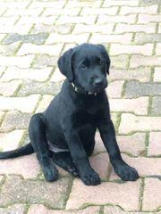 Labrador Mix Welpe