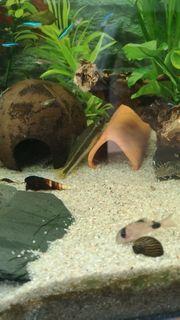 Fisch Echte Siamensis - Crossocheilus oblongusRüsselbarbe