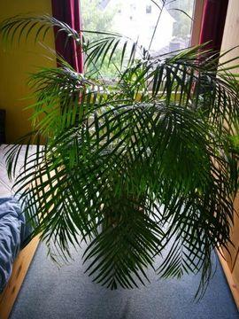 Pflanzen - Bergpalme
