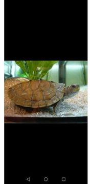 schöne Schildkröten zu verkaufen