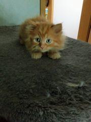 Miau Felix Maine Coon Katerchen