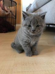abgabebereit BKH Kitten Blue reinrassig
