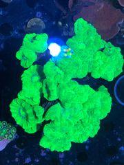Caulastrea furcata Flötenkoralle Koralle Meerwasser