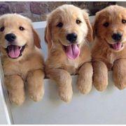 Starker Welpe des goldenen Apportierhunds