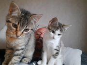 Süße Katzenbabys abzugeben