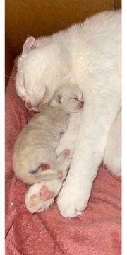 scottish fold - Bkh mix babys