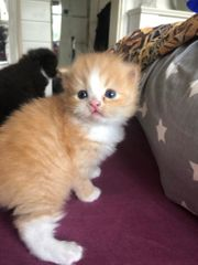 Maine Coon Perser Mix Kitten