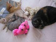 junge Kätzchen Europäisch Kurzhaar Hauskatze