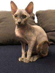 Wunderschöne Kanadische Sphynx Kitten geboren