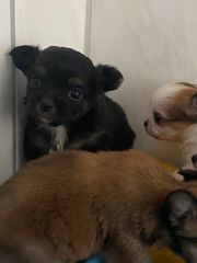 zauberhafte Chihuahua Welpen langhaar