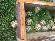 Griechische Land Schildkröten aus NZ