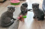 Scottich kitten
