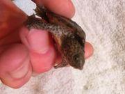 Moschusschildkröte Sternotherus minor minor Nachzucht