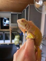 1 1 Albino Iguana Iguana
