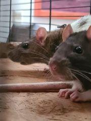 Zwei junge Farbratten Weibchen mit