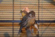 Schöne und gesunde Kanarienvögel ab