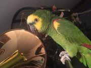 Papagei - Blaustirnamazone Hahn -- reserviert