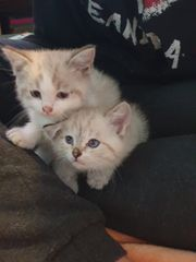 Ragdoll Edelmix Kitten