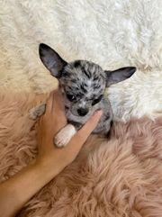 Mini Chihuahua Blue Merle