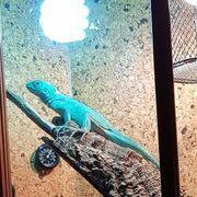 Blauer Grüner Leguan