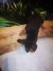Welpen Bloodhound Familienhund großer Schweizer