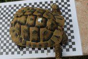 Griechische Landschildkröte THB männlich