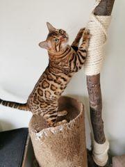 Wurfankündigung Bengal Katzen Kitten
