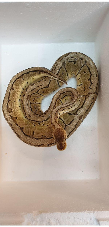 Python regius Elaphe dione Oreocryptophis